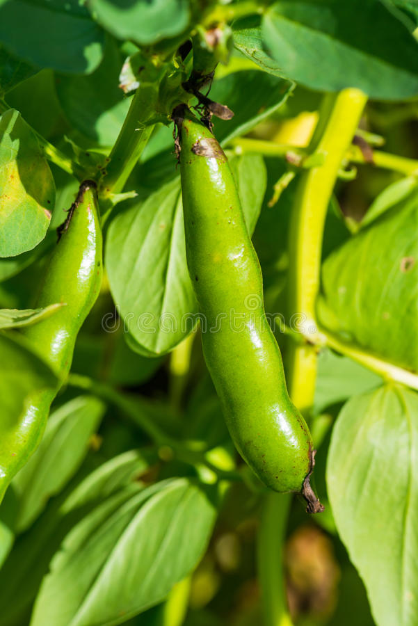 A broad bean pod growing on a farm royalty free stock images