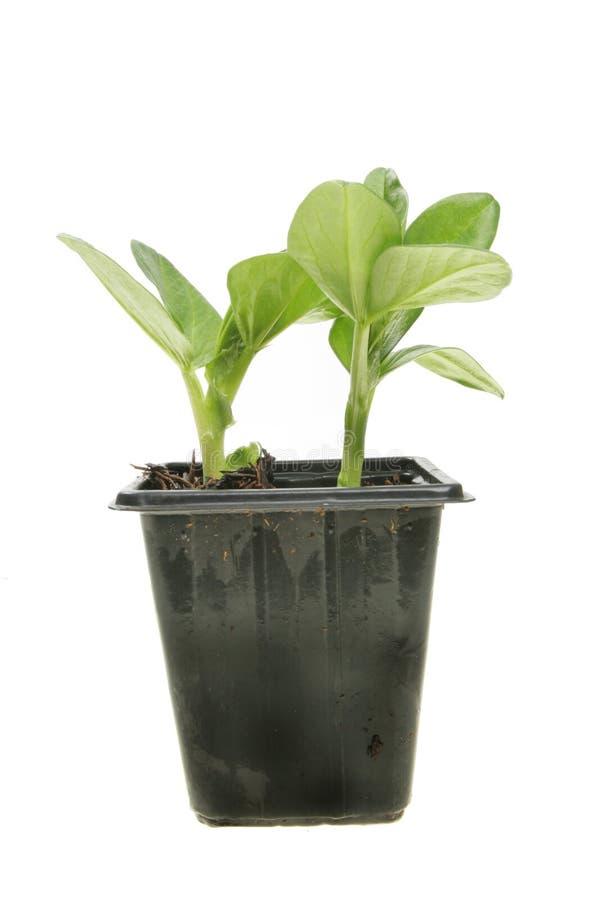 Broad bean seedlings stock photos