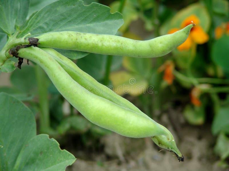Broad bean - Vicia faba royalty free stock photo