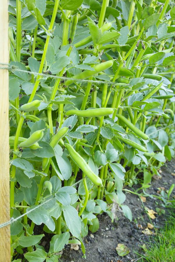 Broad beans plant stock image