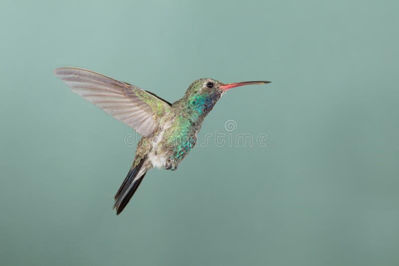 Broad-billed Hummingbird hovering. Adult female Broad-billed Hummingbird hovering royalty free stock images