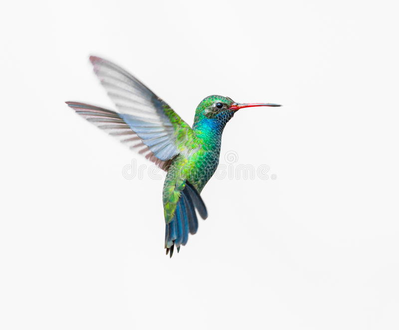 Broad Billed Hummingbird male. Broad Billed Hummingbird. Using different backgrounds the bird becomes more interesting and blends with the colors. These birds royalty free stock photos