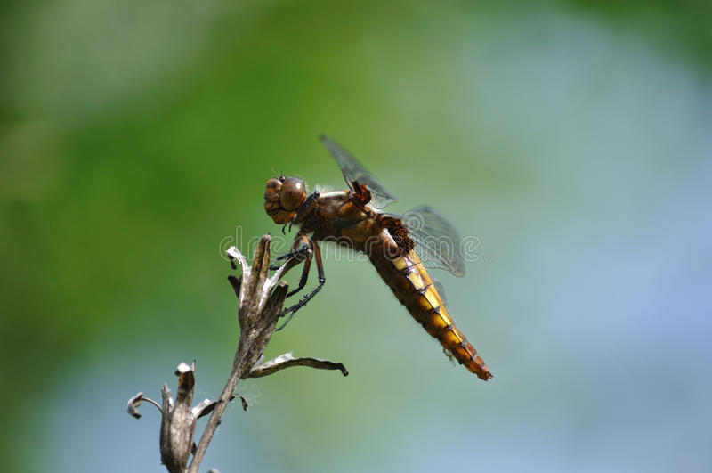 Broad-Bodied Chaser Royalty Free Stock Photo