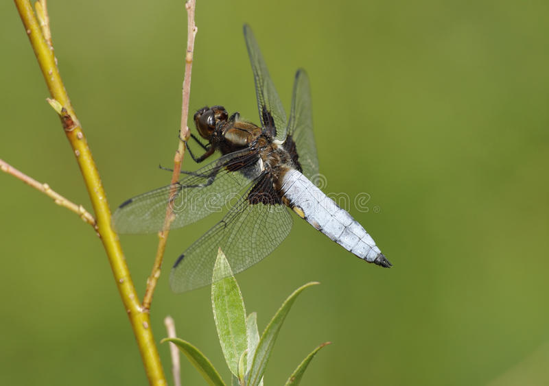 Download Broad-bodied Chaser Dragonfly Stock Image - Image: 15242369