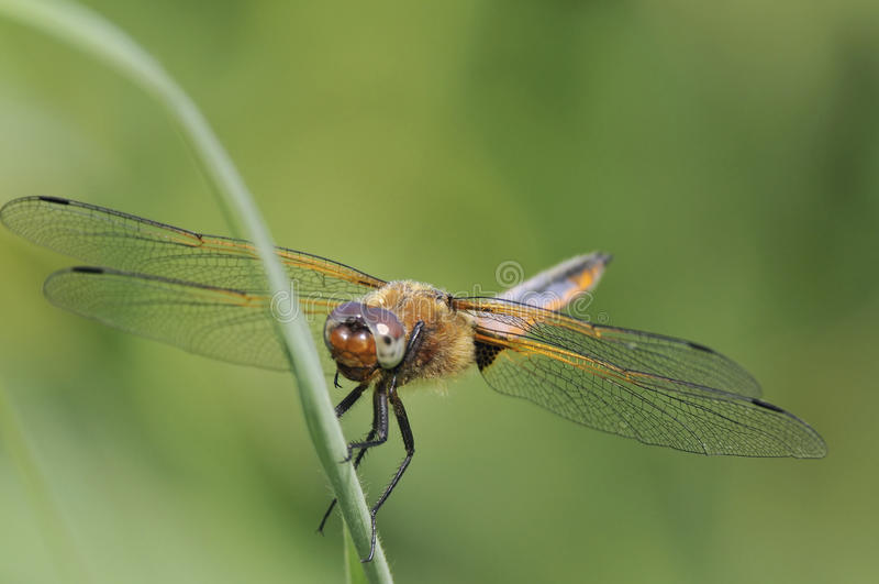 Download Broad-bodied Chaser - Libellula Depressa Stock Photo - Image: 14759942