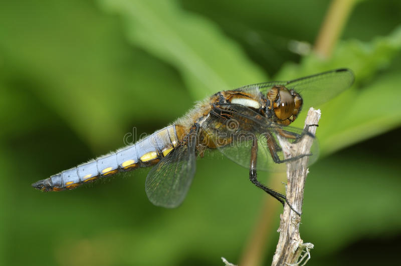 Download Broad-bodied Chaser - Libellula Depressa Stock Photo - Image of summer, insect: 15082560