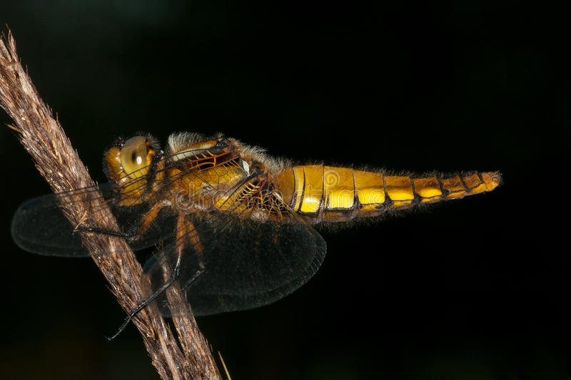 Download Broad-bodied Chaser (Libellula Depressa) Stock Photo - Image: 24823462