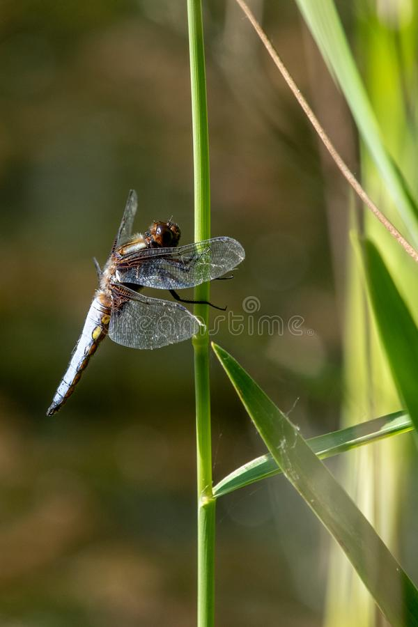 Broad-bodied Chaser Libellula depressa royalty free stock image