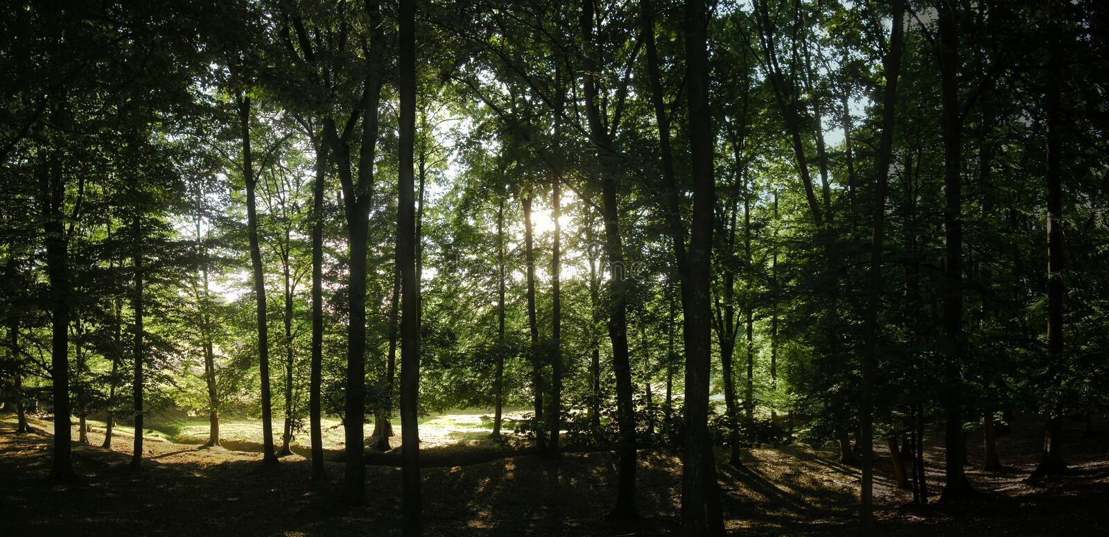 Broad leaf trees forest with green backlit leafs at summer daylight. Backlight.Positive atmosphere, forest, forest landscape. Panoramic photo stock image