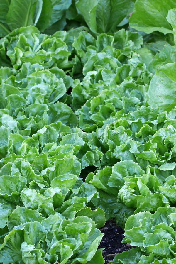 Broad-leaved Endive Salad leaves. Home grown Broad-leaved Endive Salad leaves in the garden stock photography