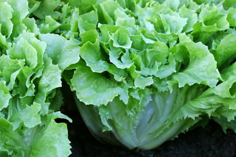 Broad-leaved Endive Salad leaves. Home grown Broad-leaved Endive Salad leaves in the garden royalty free stock photo