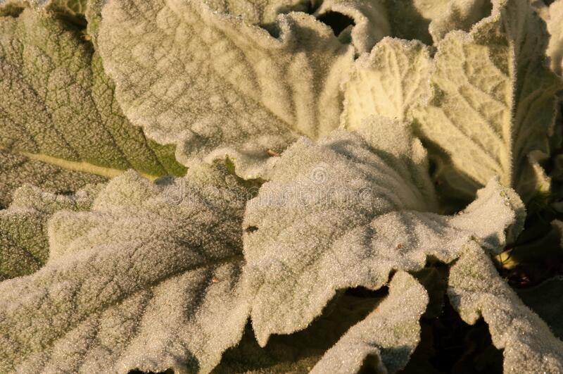 Broad leaves are covered in a blanket of frost ice crystals stock photos