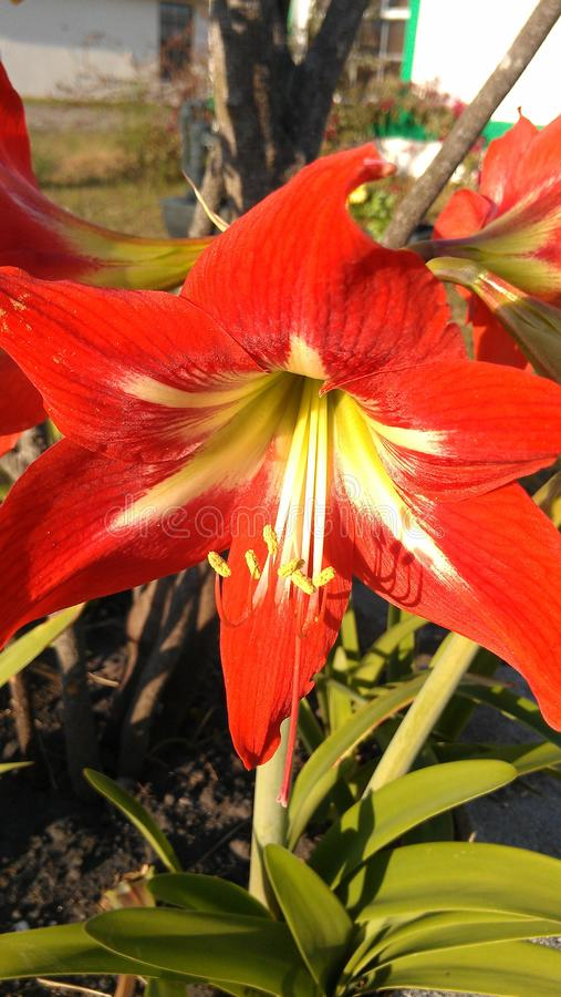 Broad Red Flower with White and Yellow Center. A large and broad petaled bright red flower with a yellow and white center growing in a suburban garden stock photography
