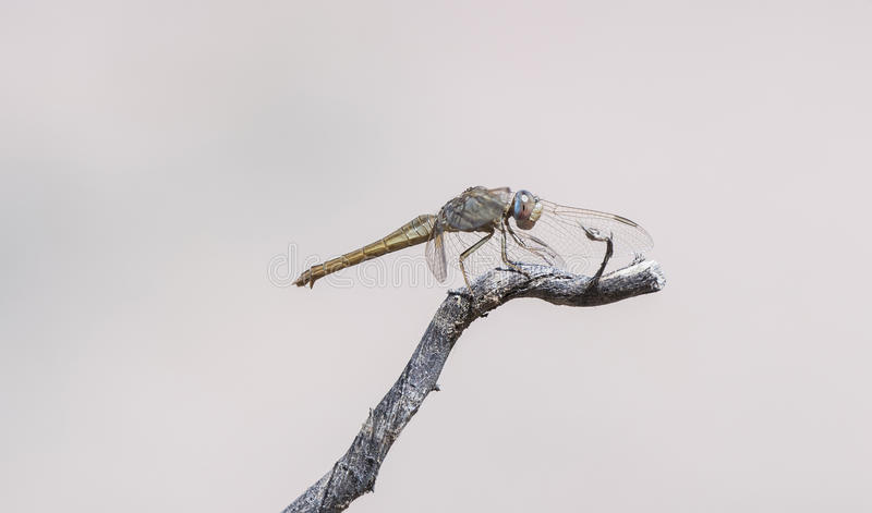 Broad Scarlet (Crocothemis erythraea) Dragonfly Perched on a Tree Limb in South Africa stock image