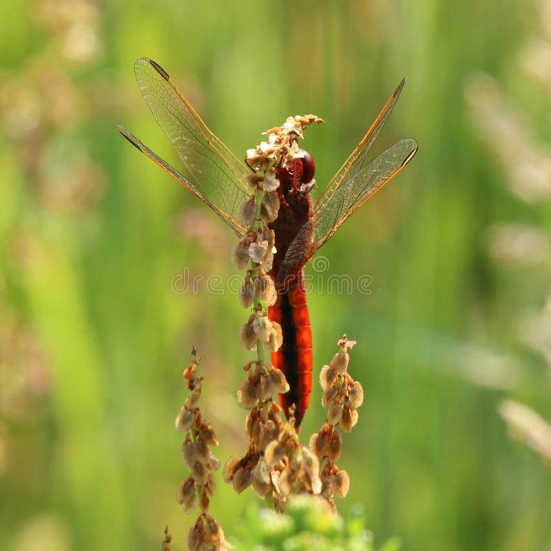 Broad scarlet dragonfly stock image