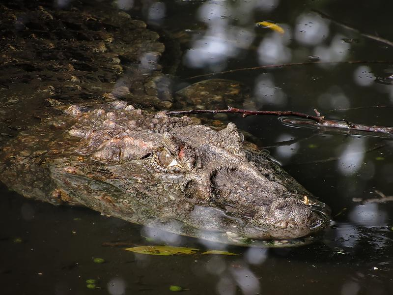 Broad-Snouted Caiman Caiman latirostris Lurking on Swampy Wate. Rs stock images
