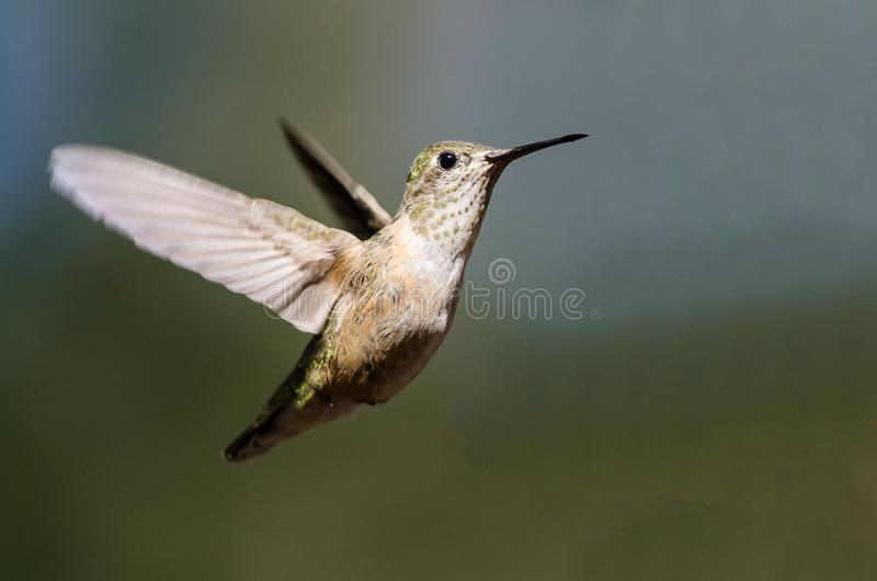 Broad-Tailed Hummingbird Hovering in Flight Deep in the Forest. Broad-Tailed Hummingbird Hovering in Flight Deep in the Green Forest royalty free stock images