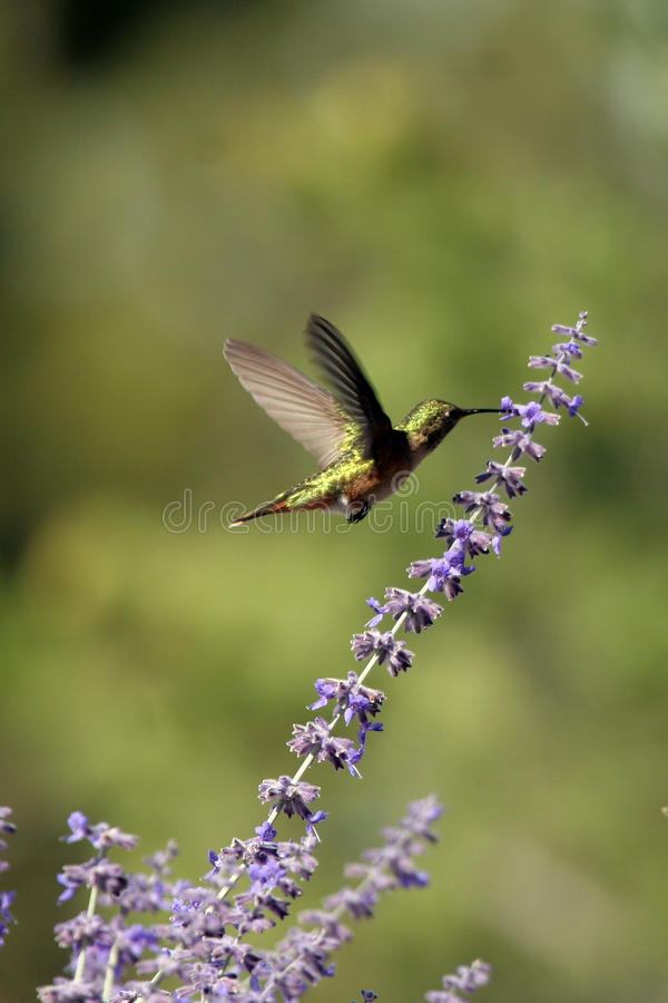 Broad-tailed Hummingbird, Selasphorus platycercus royalty free stock photo