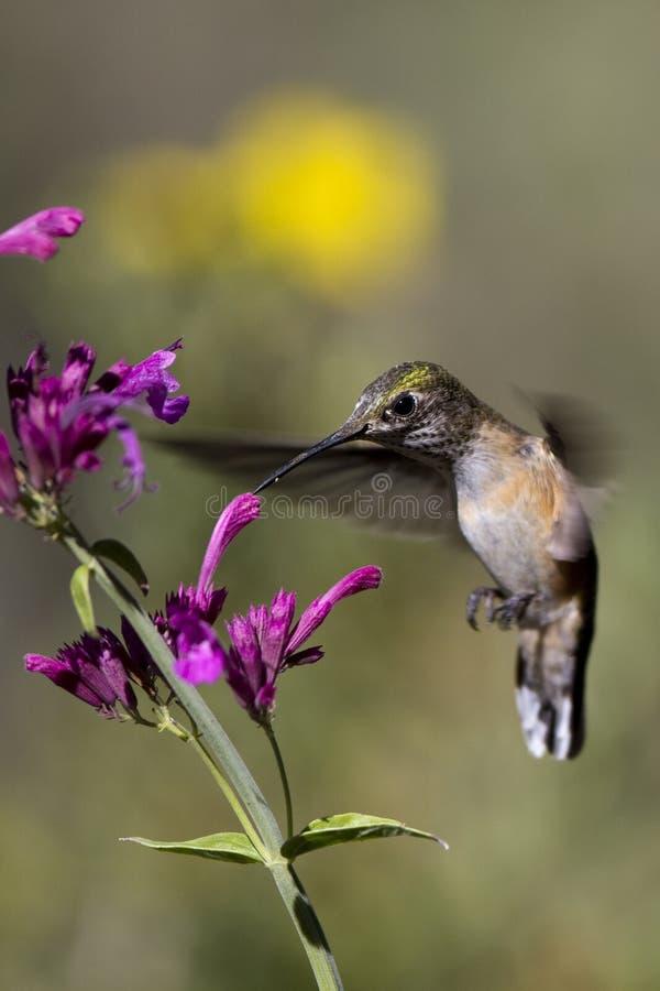 Download Broad-tailed Hummingbird, Selasphorus Platycercus Stock Image - Image: 15750709