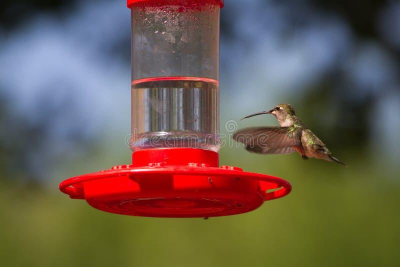 Download Broad-tailed Hummingbird, Selasphorus Platycercus Stock Photography - Image: 25177302
