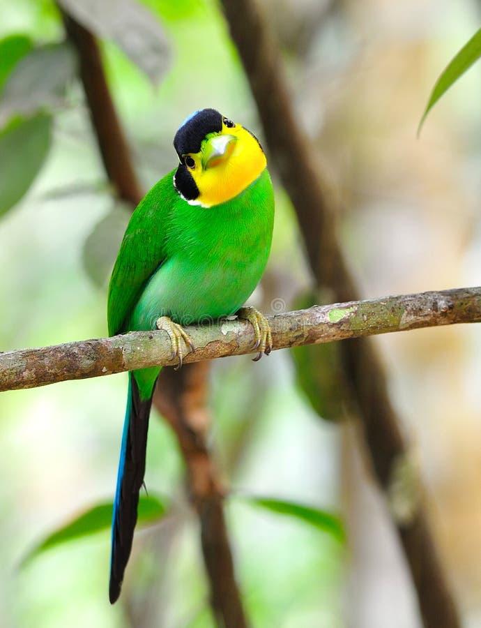 Download Broadbill Long-tailed image stock. Image du long, asie - 45360143