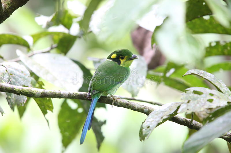 Broadbill Long-tailed images stock