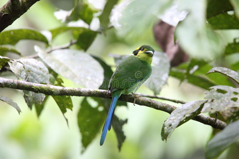 Broadbill Long-tailed photographie stock