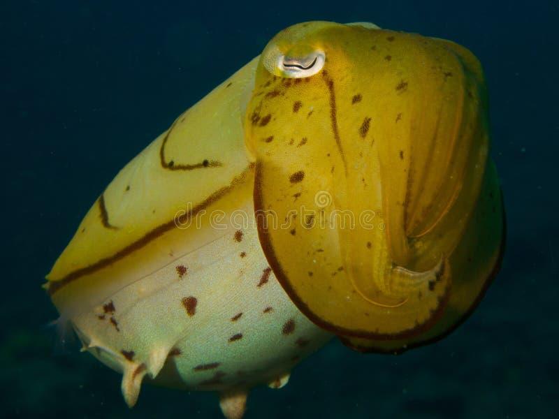 Broadclub bläckfisk royaltyfria foton
