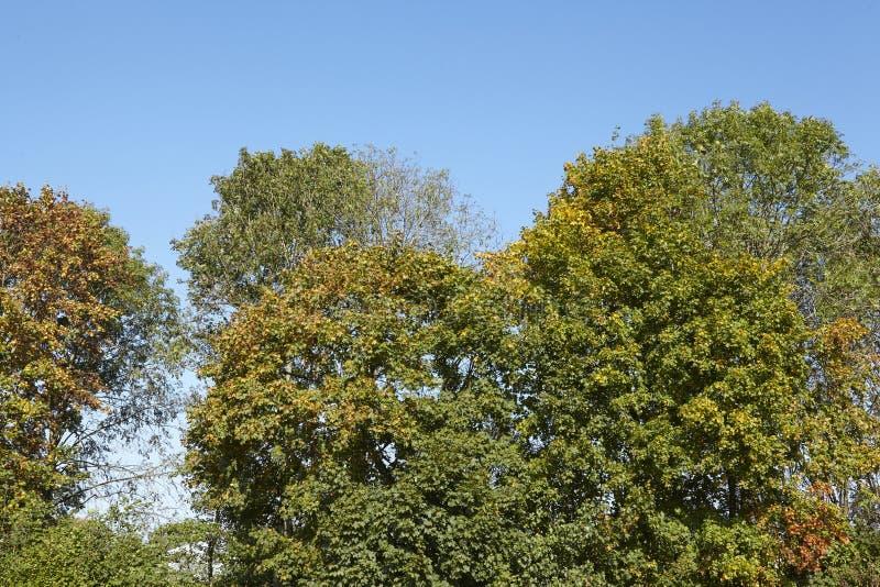 Broadleaf кроны лесного дерева на крае леса стоковые изображения