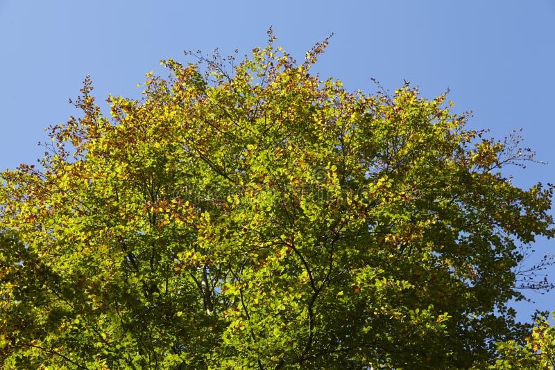 Broadleaf кроны лесного дерева на крае леса стоковое фото rf