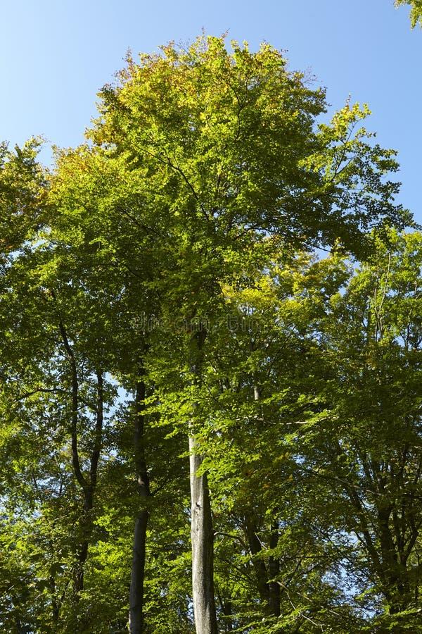 Broadleaf кроны лесного дерева на крае леса стоковое изображение