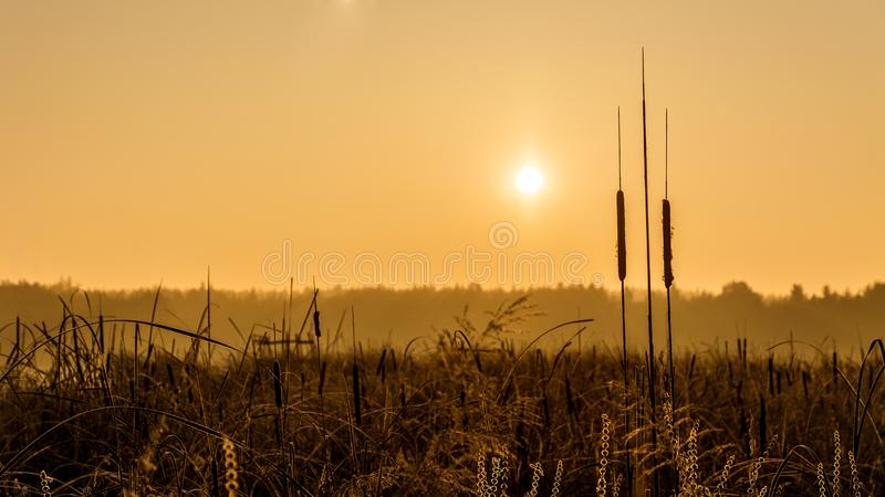 Broadleaf cattail silhouette at sunrise over a pond. Typha latifolia. Reed or water sausage. Rising sun in a golden landscape. Artistic scene. Rural swamp royalty free stock images