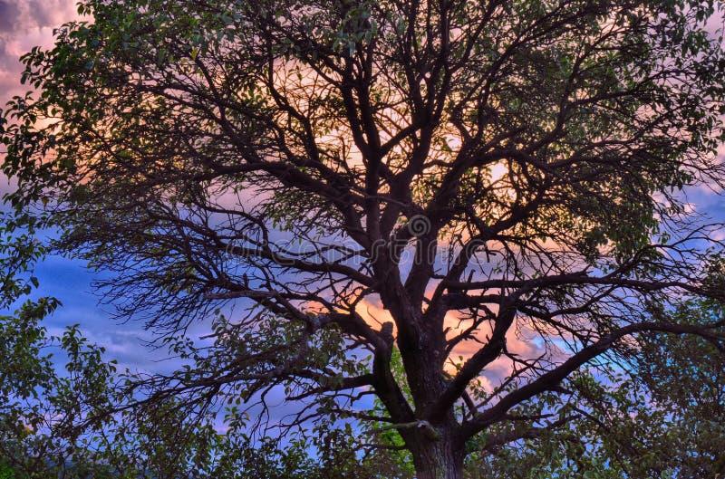Broadleaf drzewo przy lato wieczór zmierzchem niebo, chmury zdjęcie stock