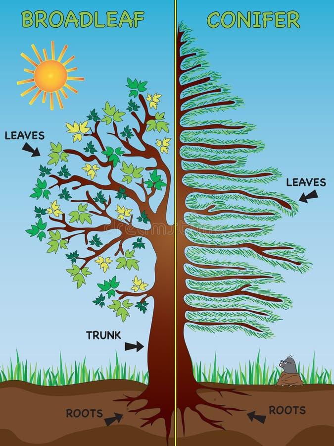 Broadleaf i conifer ilustracji