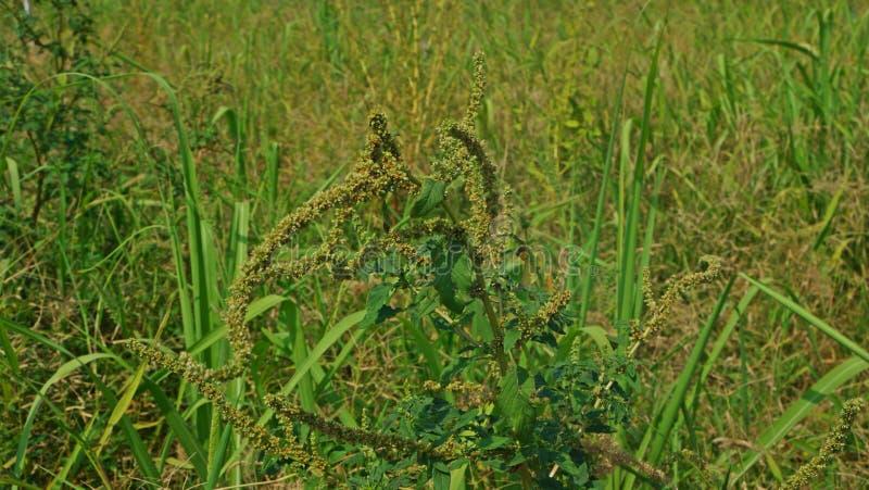 Broadleaves onkruid in suikerriet en gebiedsgewas stock foto's