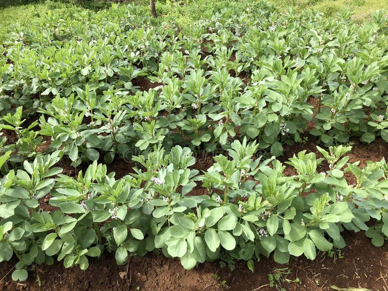 Field of Broad beans, detail stock image