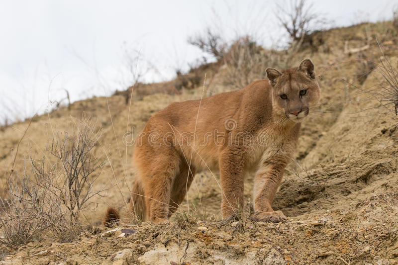 Broadside portrait of mountain lion. In Arizona mountains royalty free stock photography
