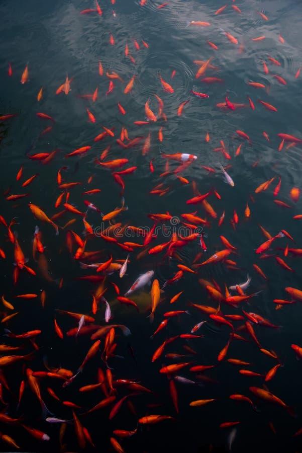 brocaded karpers in het water stock foto's
