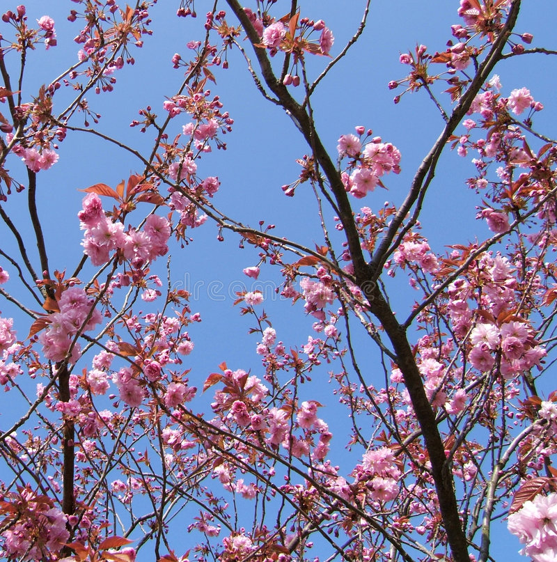 Brocado del flor de cereza fotografía de archivo