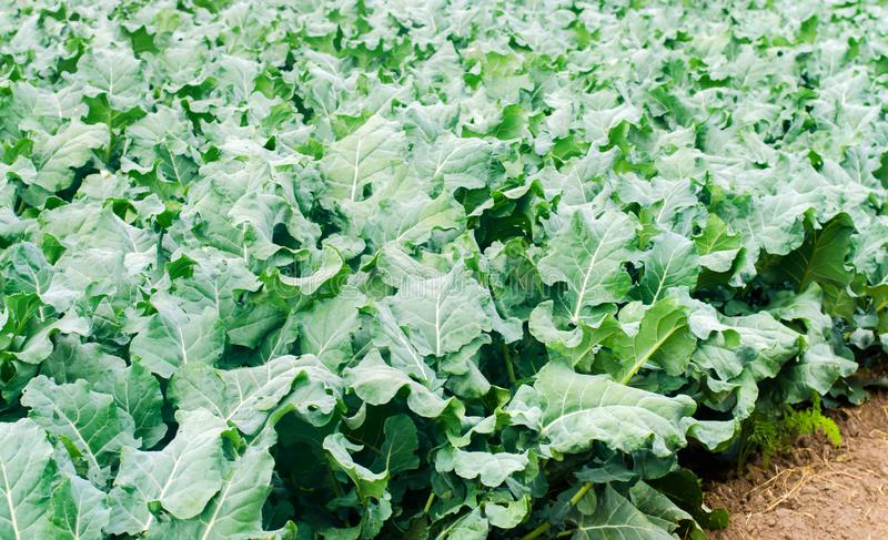 Broccoli growing in the field. fresh organic vegetables agriculture farming. farmland. green leaves close up stock photography