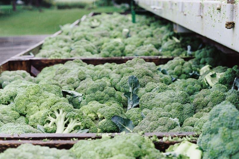 Broccoli multipli in recipienti di legno fuori nella pioggia fotografie stock