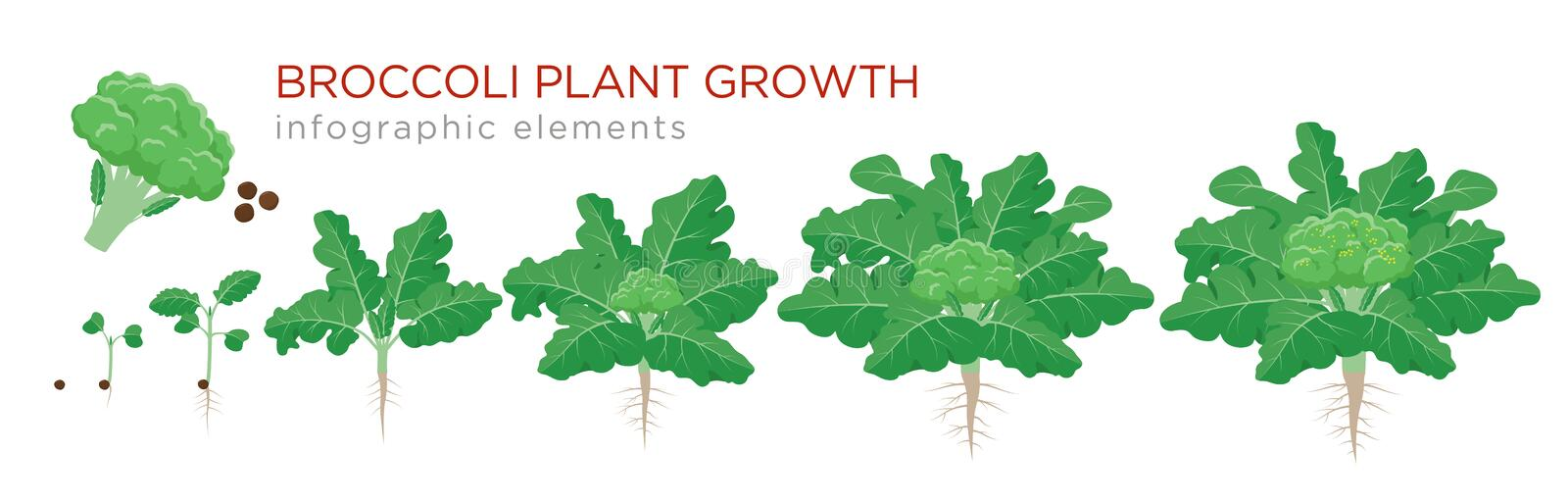 Broccoli plant growth stages infographic elements. Growing process of broccoli from seeds, sprout to mature plant with. Roots, life cycle of plant isolated on vector illustration