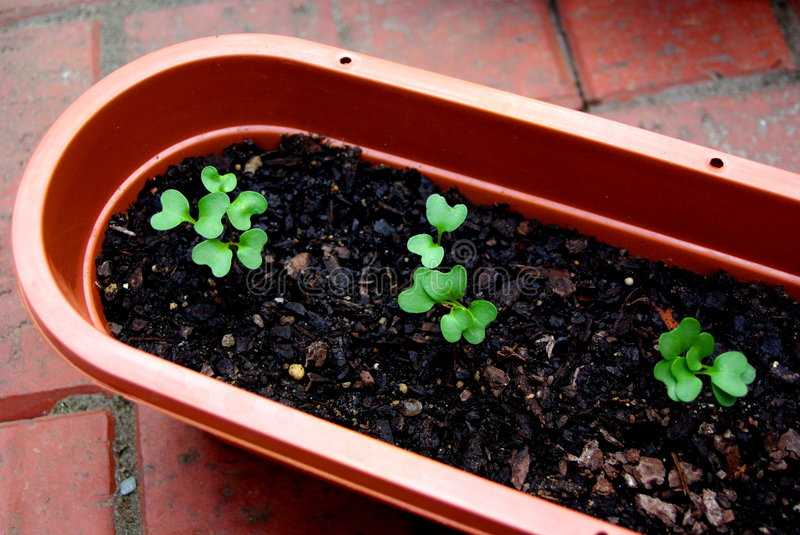 Broccoli Seedlings. Newly sprouted Broccoli seedlings in a pot stock image