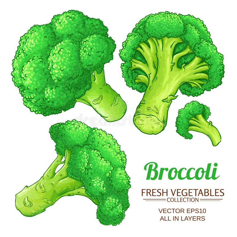 Broccoli vector isolated. Broccoli vector set on white background stock illustration