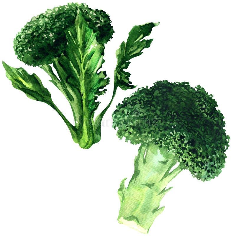 Broccoli verdi freschi isolati, due verdure, raccolto organico di estate, illustrazione sopra isolata e disegnata a mano dell'acq immagini stock