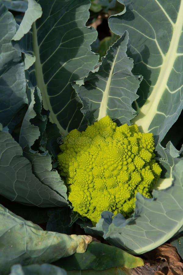 Broccoli verdi maturi organici di Romanesco o cavolfiore romano, Broc fotografia stock