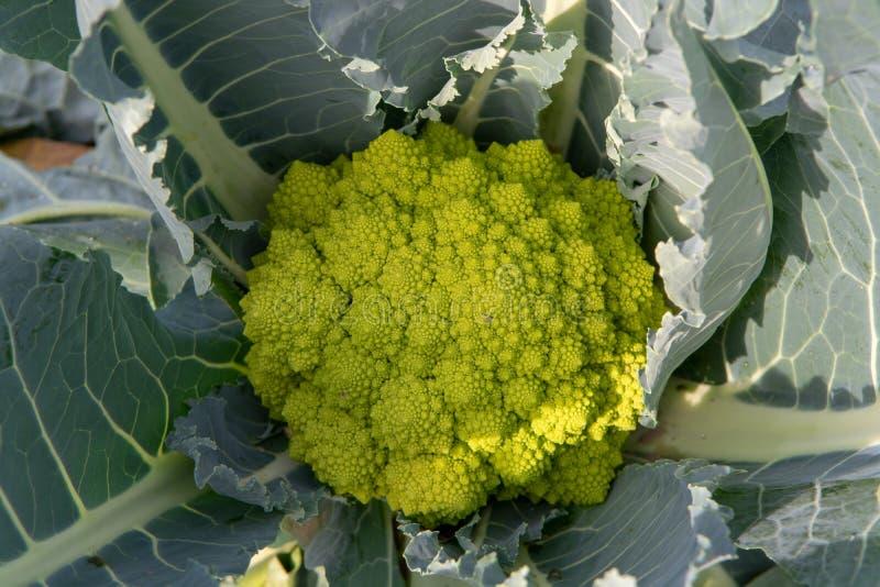 Broccoli verdi maturi organici di Romanesco o cavolfiore romano, Broccolo Romanesco, cavolfiore romanico, nuovo raccolto fotografia stock libera da diritti