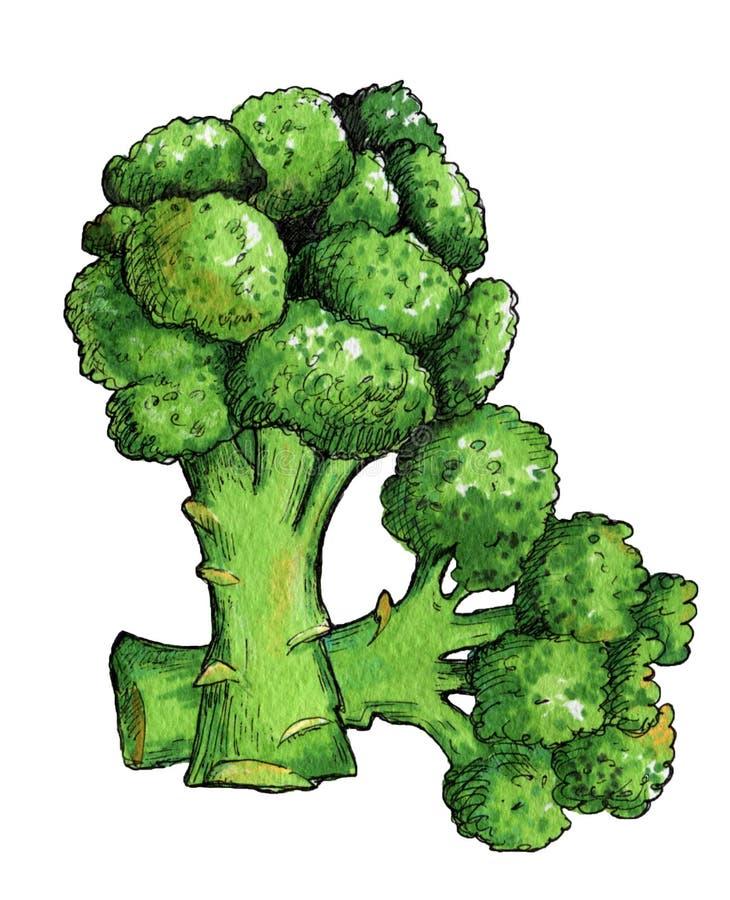 Broccoli vert frais Illustration illustration stock