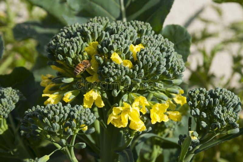 Broccoliblomma fotografering för bildbyråer
