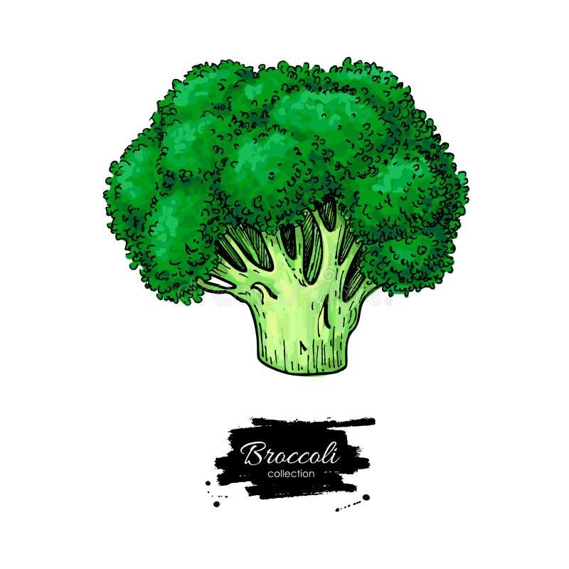 Broccolihand getrokken vectorillustratie Plantaardige tekening Isol royalty-vrije illustratie